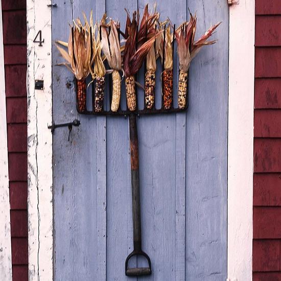 Corn Cobs on a Vintage Rake